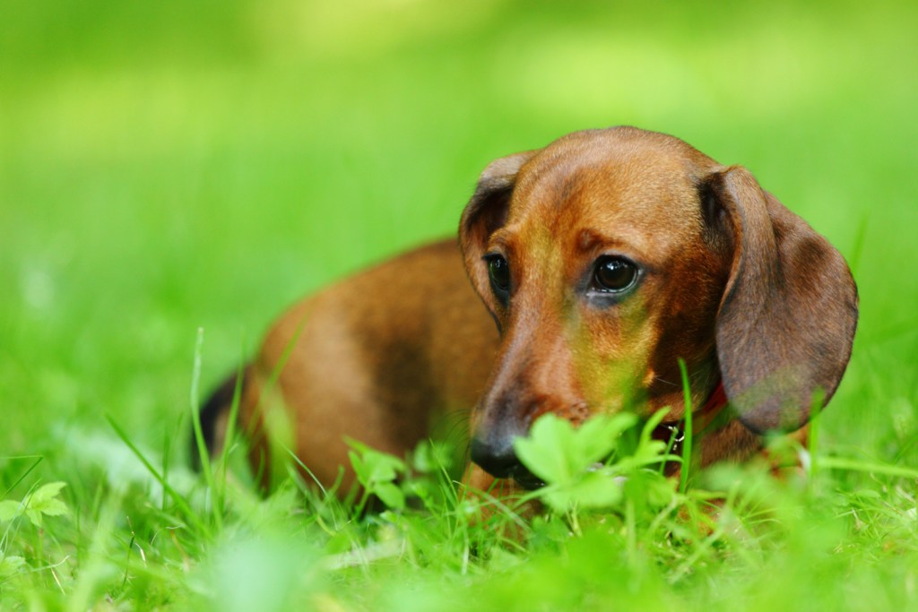Dachshund laying down in the grass in the garden eating poop