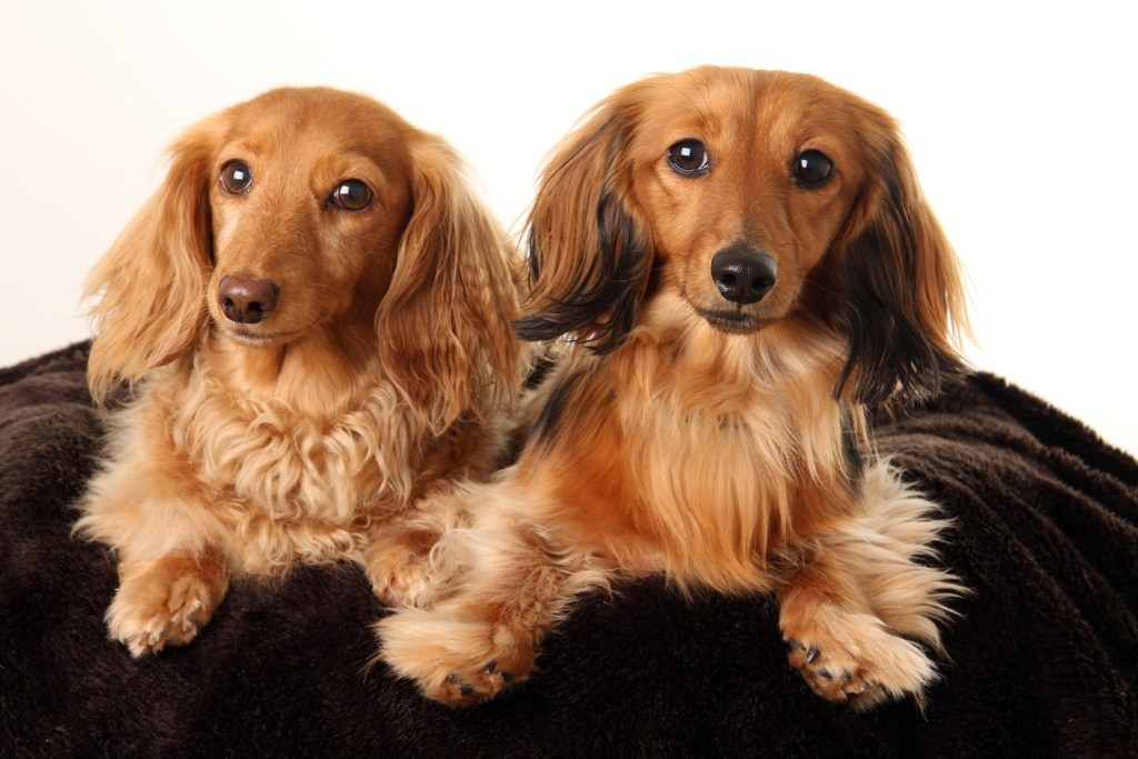 Should long-haired dachshunds be groomed? Two long-haired dachshunds laying down on a cosy blanket