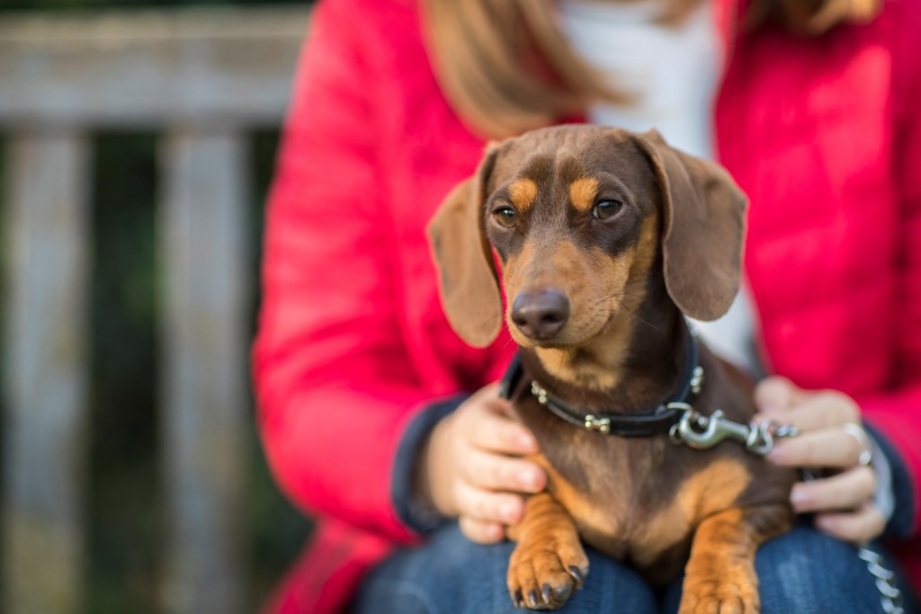 Are Dachshunds Loyal to One Person? Dachshund sitting on his owner's lap