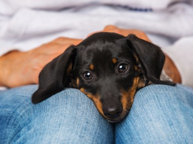 Loyal dachshund laying on a woman's lap