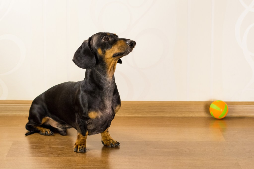 Can Dachshunds Go Up And Down Stairs? Dachshund being trained