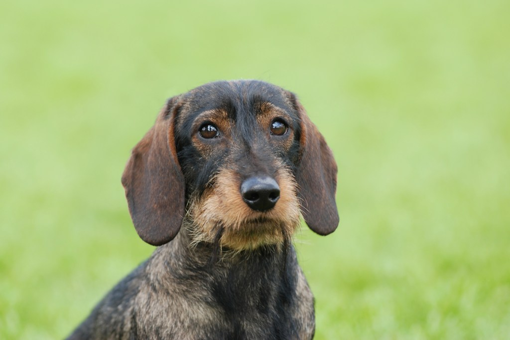 Are Dachshunds Easy to Train? Old dachshund sat down on the grass