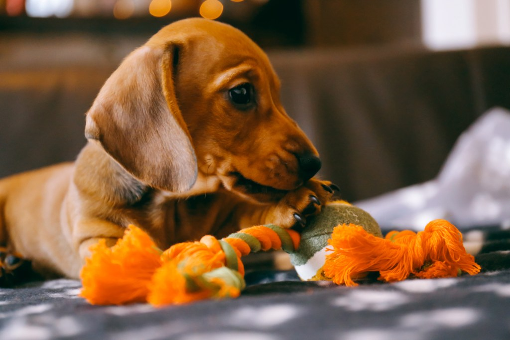 When Do Dachshunds Start Teething? Dachshund puppy chewing a rope toy on the floor while teething