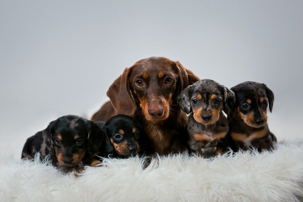 How To Care For a Dachshund. Dachshund mother and four puppies all sat on a fluffy white rug