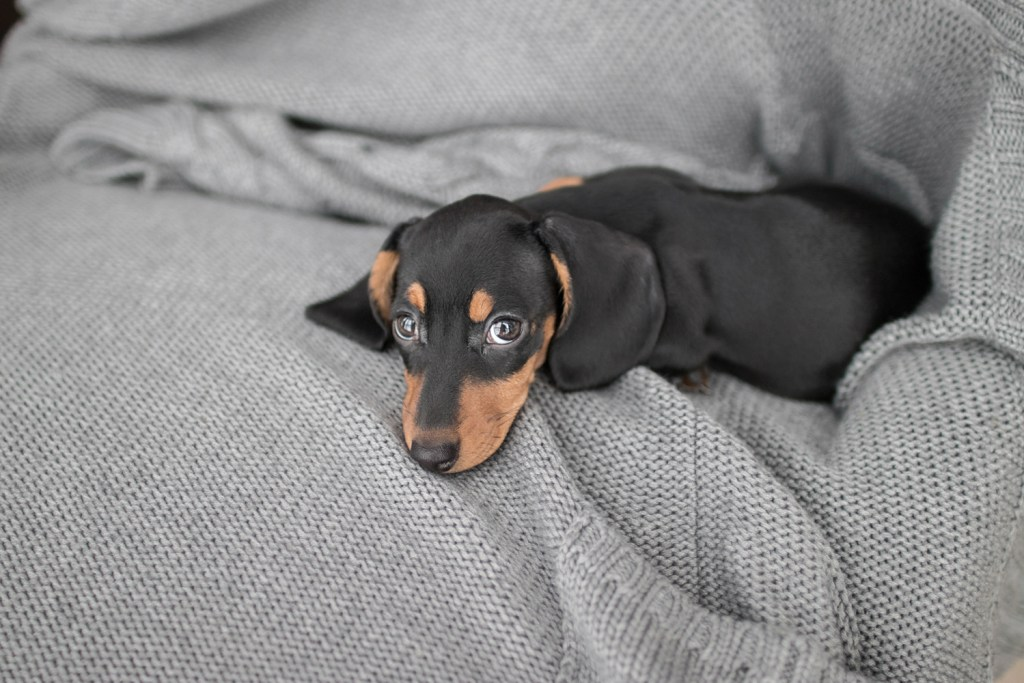 How Do You Potty Train a Dachshund? Dachshund puppy laying on a blanket looking tired