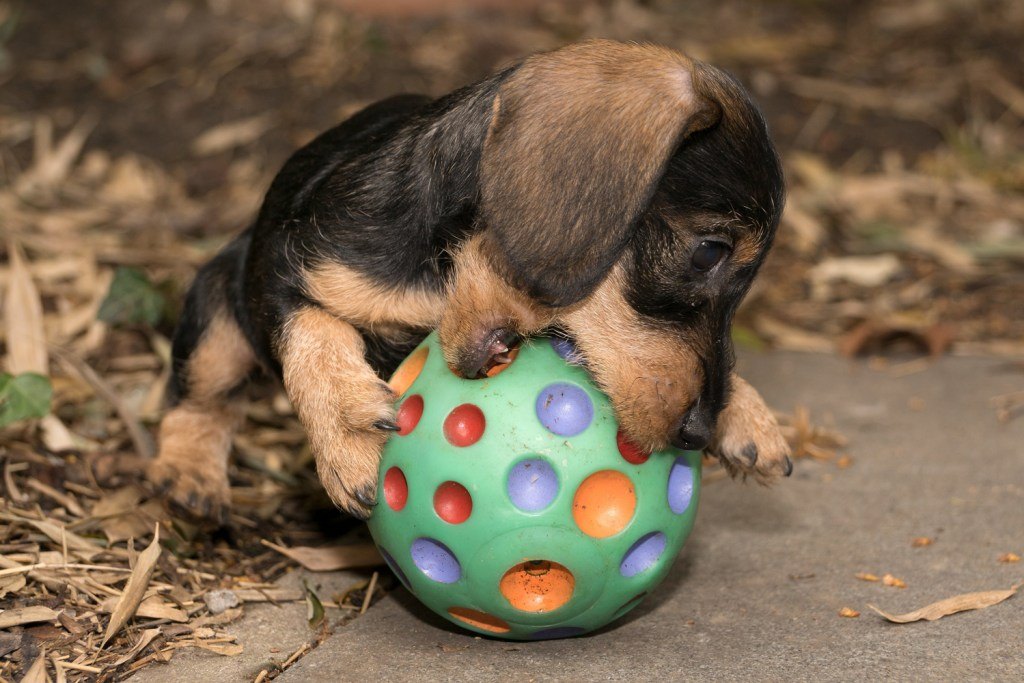 Small dachshund puppy outside in the garden chewing a big ball