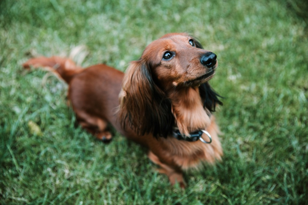 Why Do Dachshunds Bark All The Time? Dachshund sat on the grass looking upwards