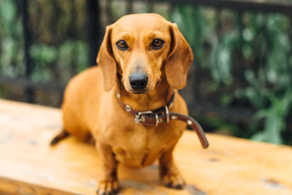 Tweenie dachshund sat outside in the garden