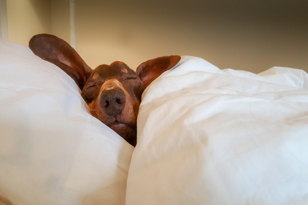 Why Do Dachshunds Go Under a Blanket? Dachshund sleeping in a bed with a duvet and pillows