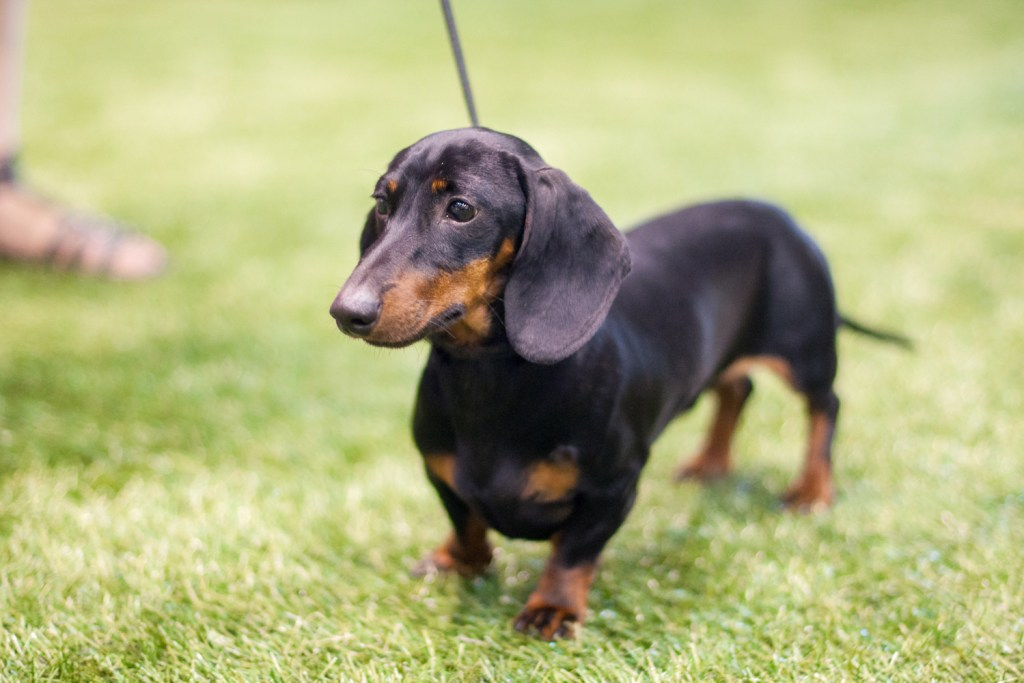 Why Do Dachshunds Bark All The Time? Dachshund going for a walk
