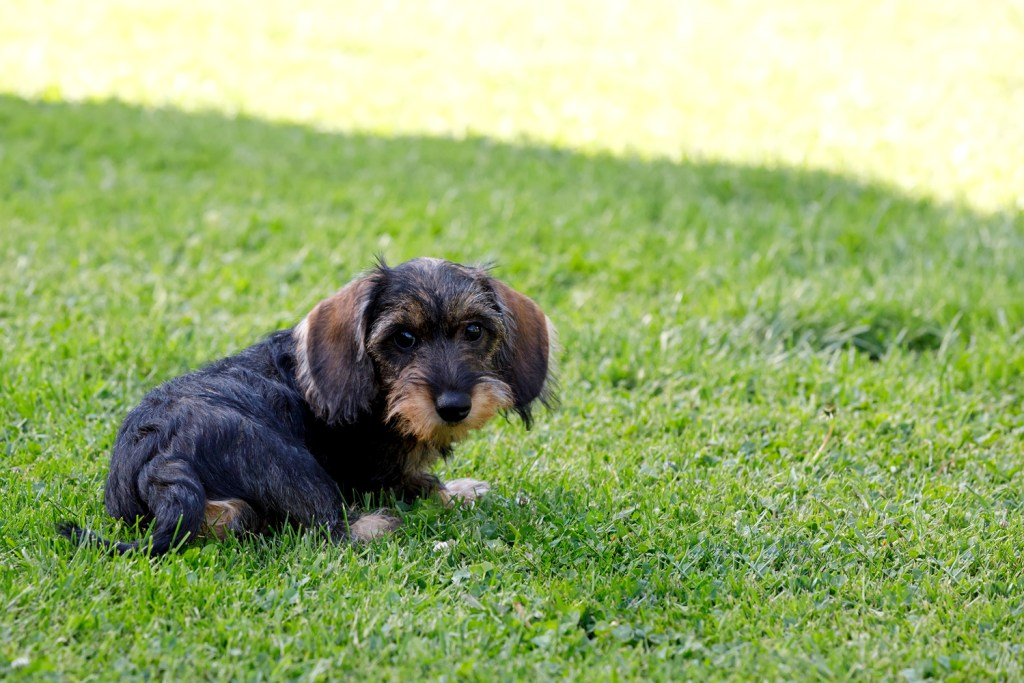 Small wire-haired dachshund puppy sat on the grass in the garden doing potty training