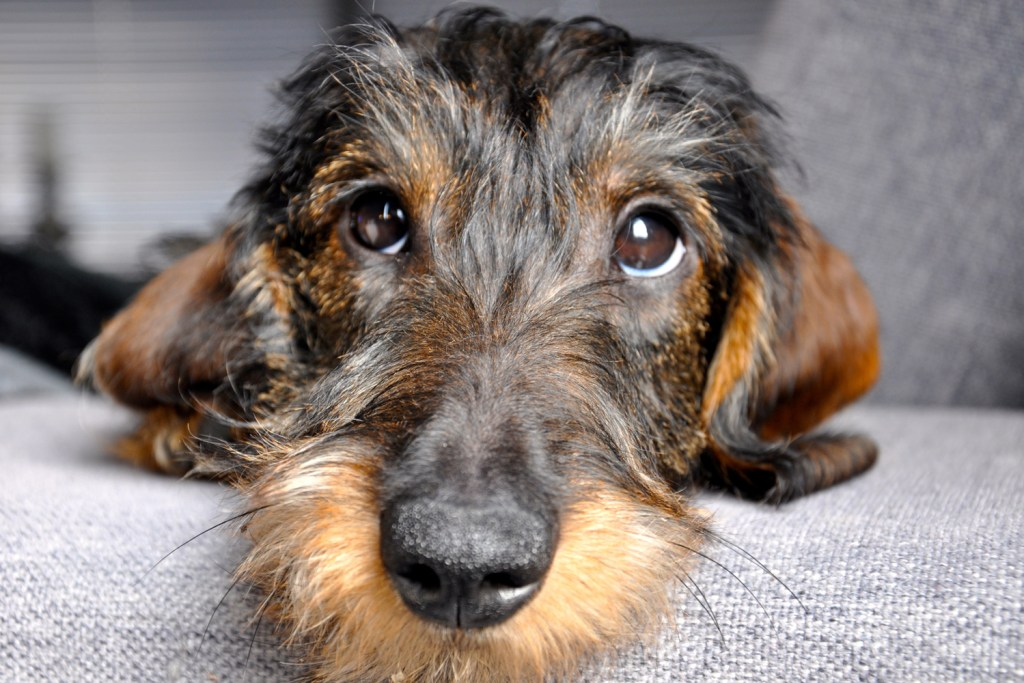 How often should you bathe a dachshund? Close up of wire-haired dachshund's face