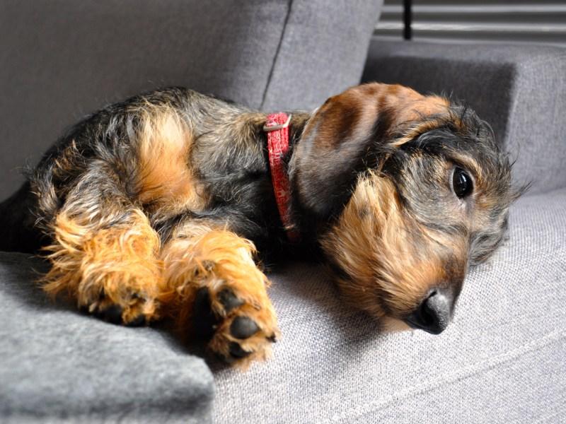 Dachshund shedding hair on the sofa