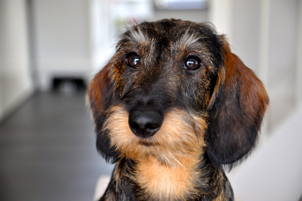 Do You Need to Groom a Dachshund? Close up of a wire-haired dachshund's head