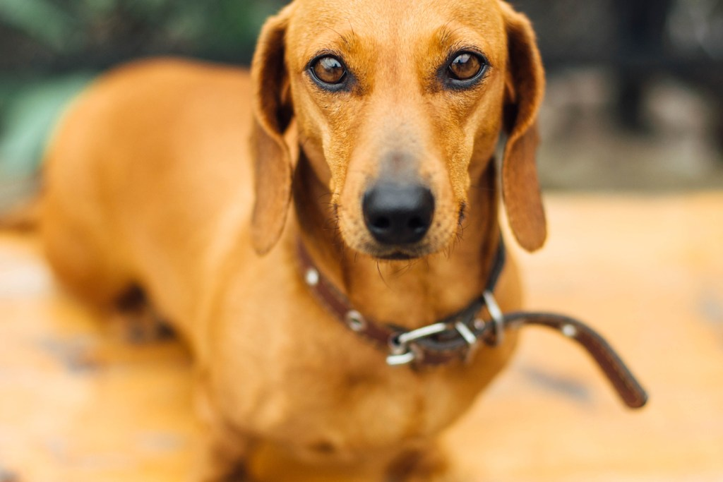 Close up of dachshund staring forwards