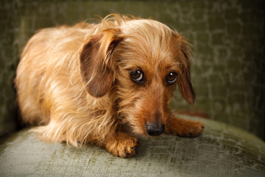 Why Do Dachshunds Shake? Nervous, scared and anxious dachshund sat on a chair