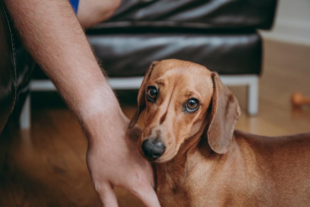 Can Dachshunds Live with Cats? Miniature dachshund looking nervous and like he may snap