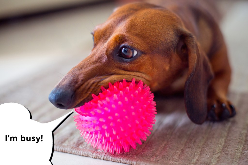 101 things dachshunds want you to know. Dachshund happily chewing a bright pink ball