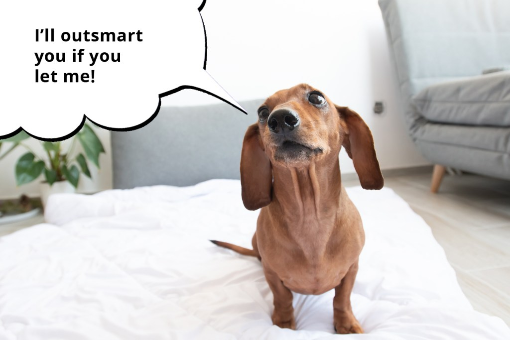 101 things dachshunds want you to know. Mischievous looking dachshund sat on the bed