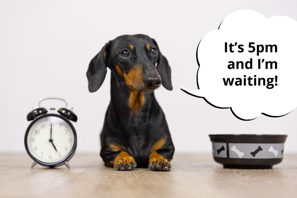 Dachshund sat beside a clock waiting for his 5pm meal to be fed on time