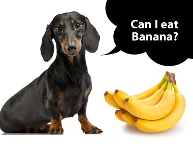 can dachshunds eat banana