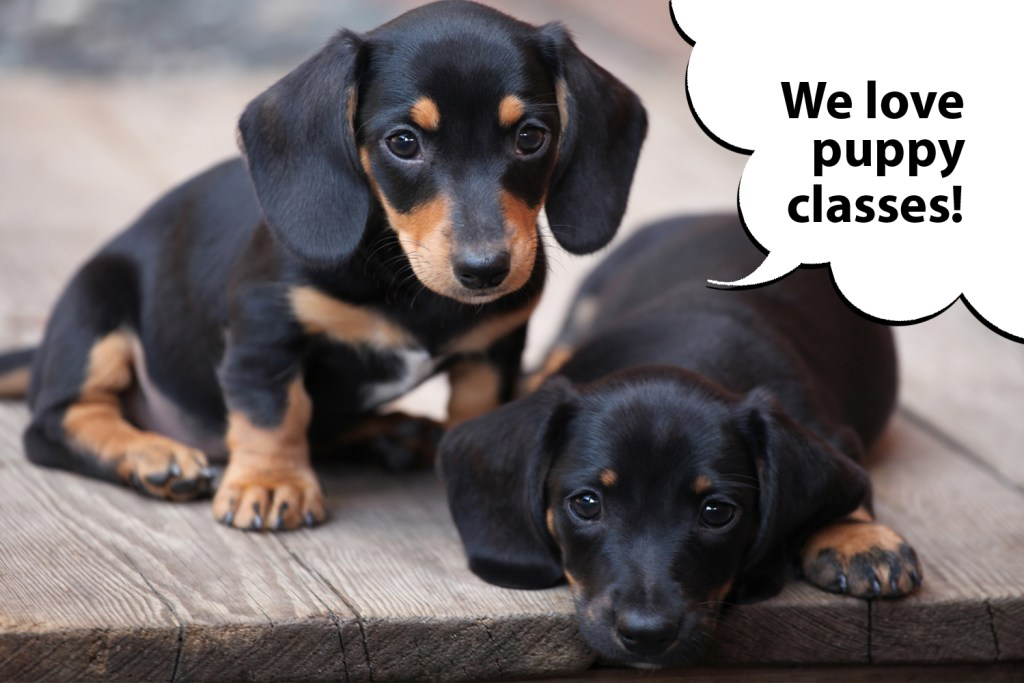 Dachshund puppies doing puppy training classes for socialisation