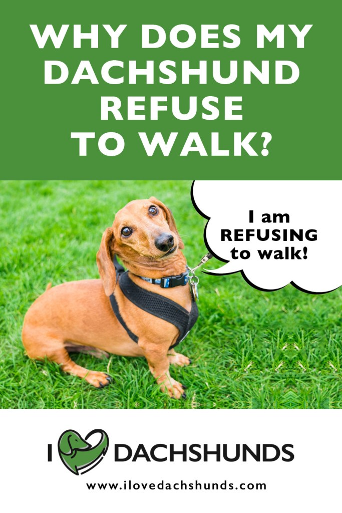 Why does my dachshund refuse to walk