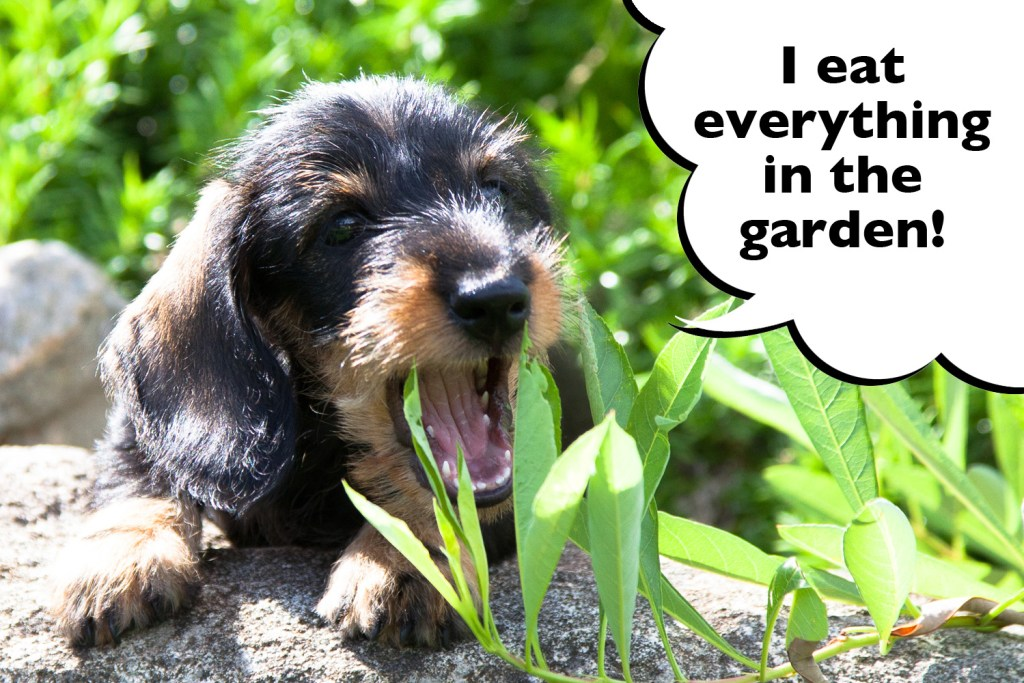 Dachshund eating grass in the garden