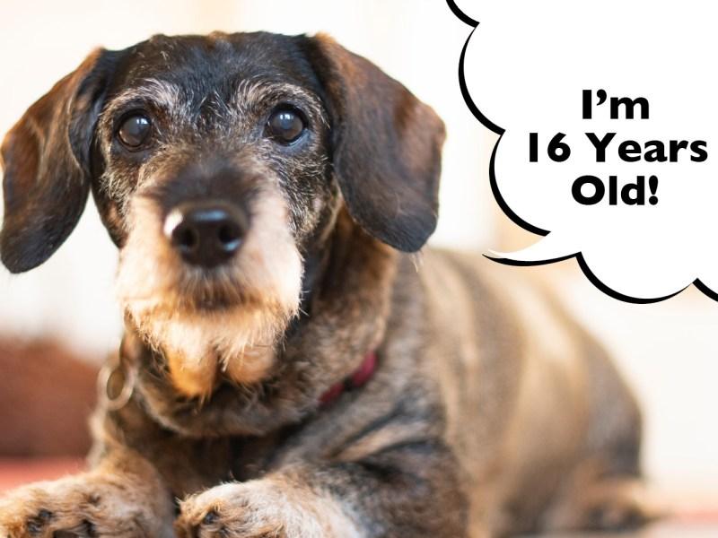 dachshund life expectancy