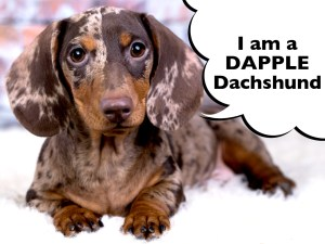 Dachshund with dapple coat pattern