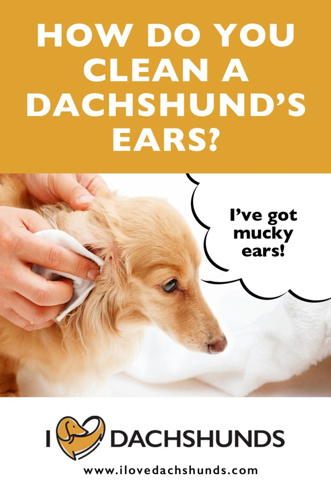 How Do You Clean A Dachshund's Ears