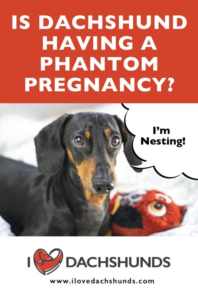 Is My Dachshund Having A Phantom Pregnancy?