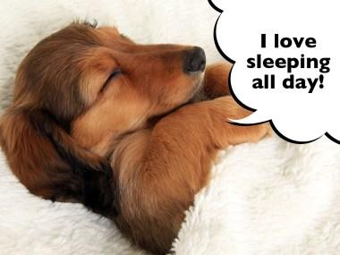 Dachshund puppy sleeping