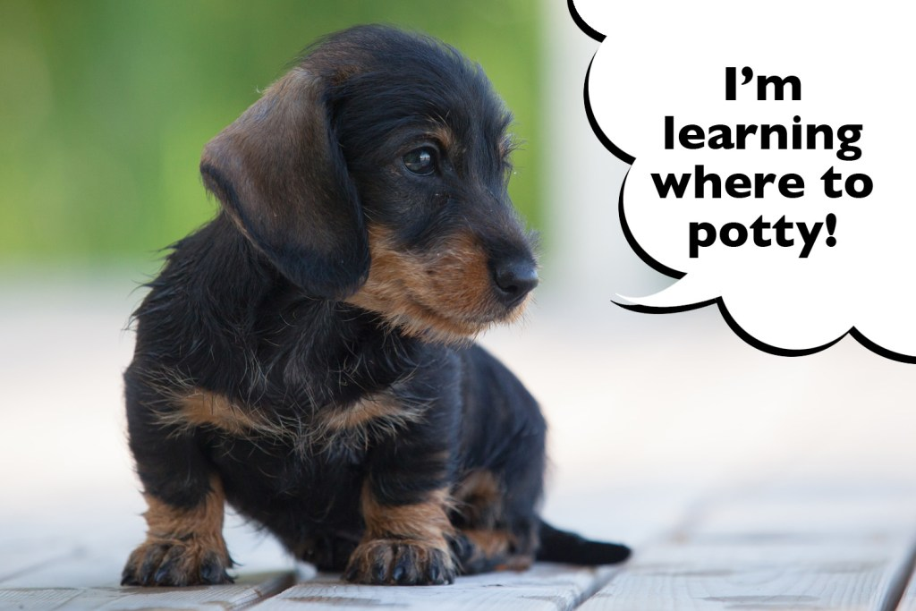 Dachshund puppy learning to do potty training