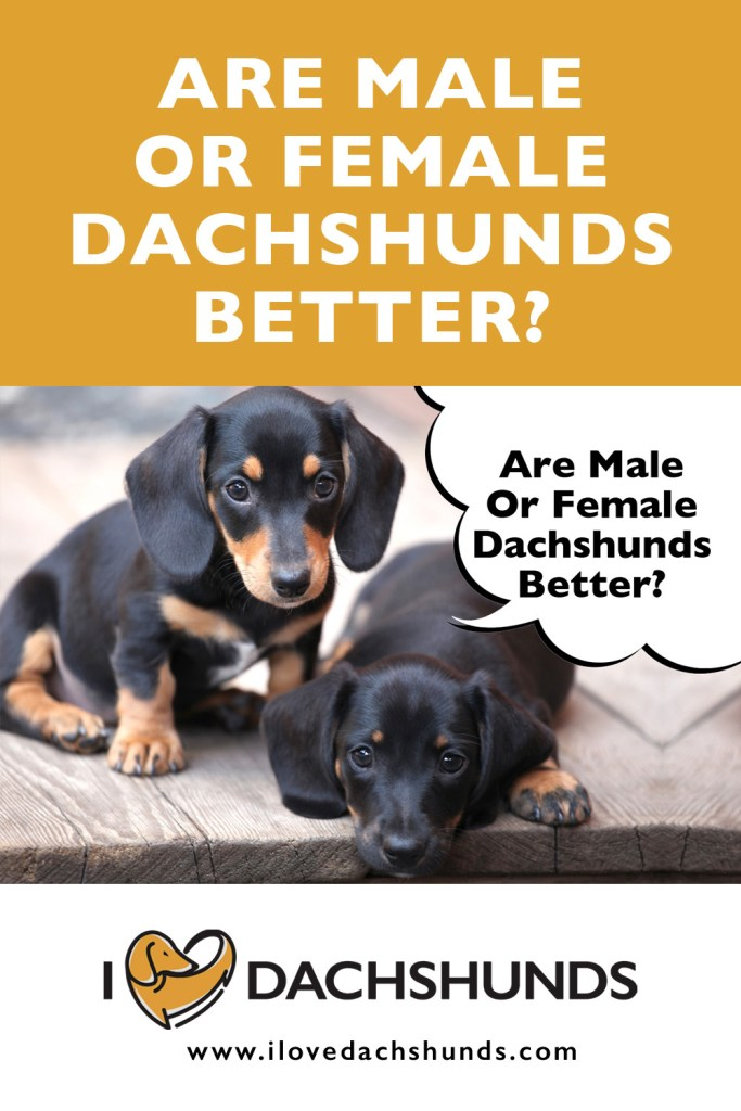 Are Male or Female Dachshunds better?