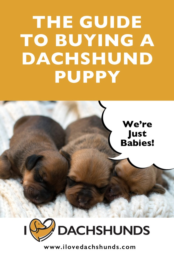 What To Look Out For When Buying A Dachshund Puppy