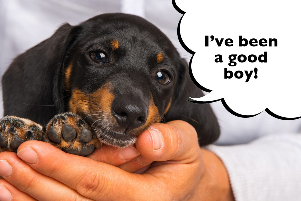 Dachshund puppy being trained with positive reinforcement