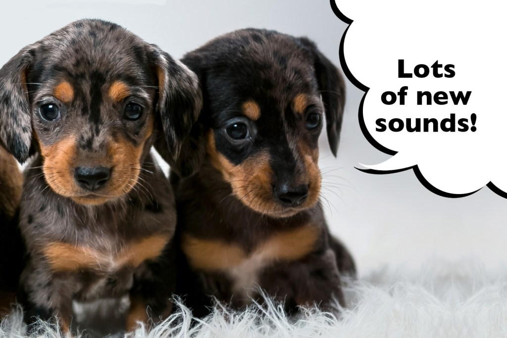 Dachshund puppies being socialised to lots of new sounds