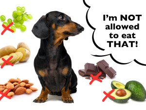 Toxic foods Dachshunds can not eat