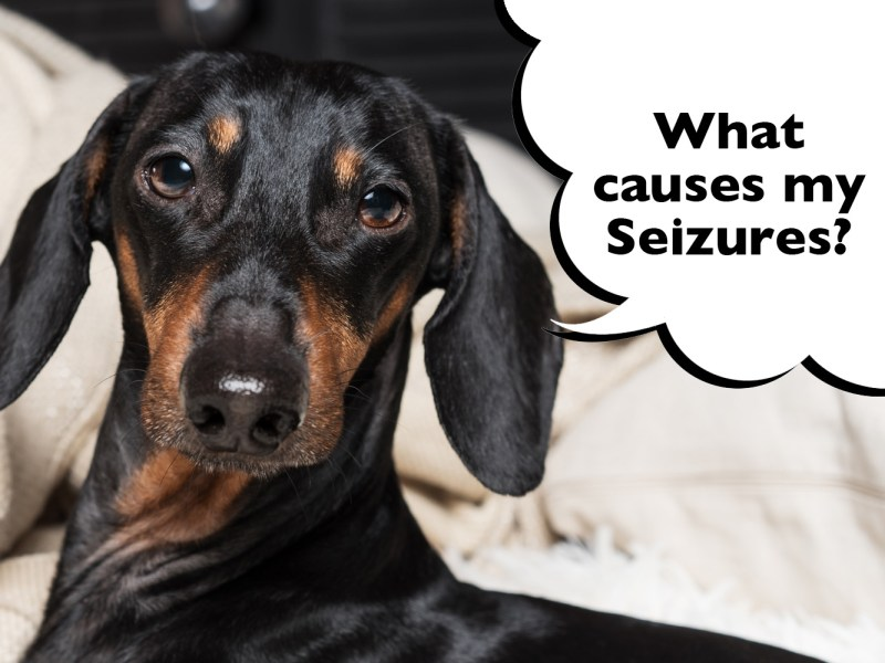 What causes seizures in Dachshunds