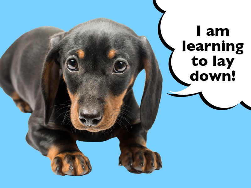 Dachshund being taught to lay down