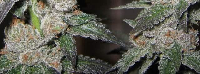 Purple Kush Medical