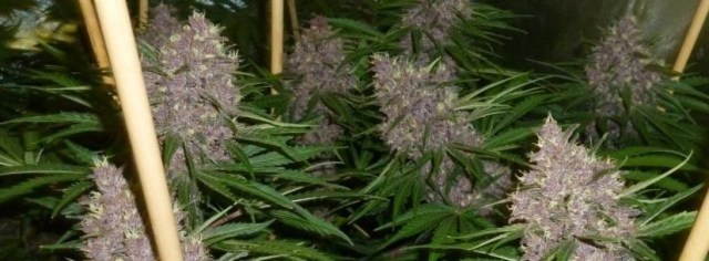 Blueberry Kush Growing