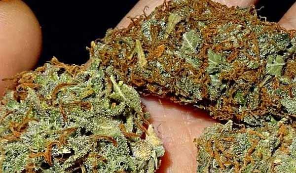 Lucy Strain Medical medical marijuana dispensary near me
