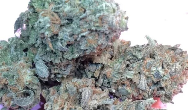Majestic 12 Strain Growing colorado online dispensary shipping worldwide