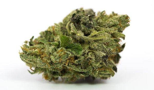 Master Kush Strain Growing-medical marijuana doctors in pa