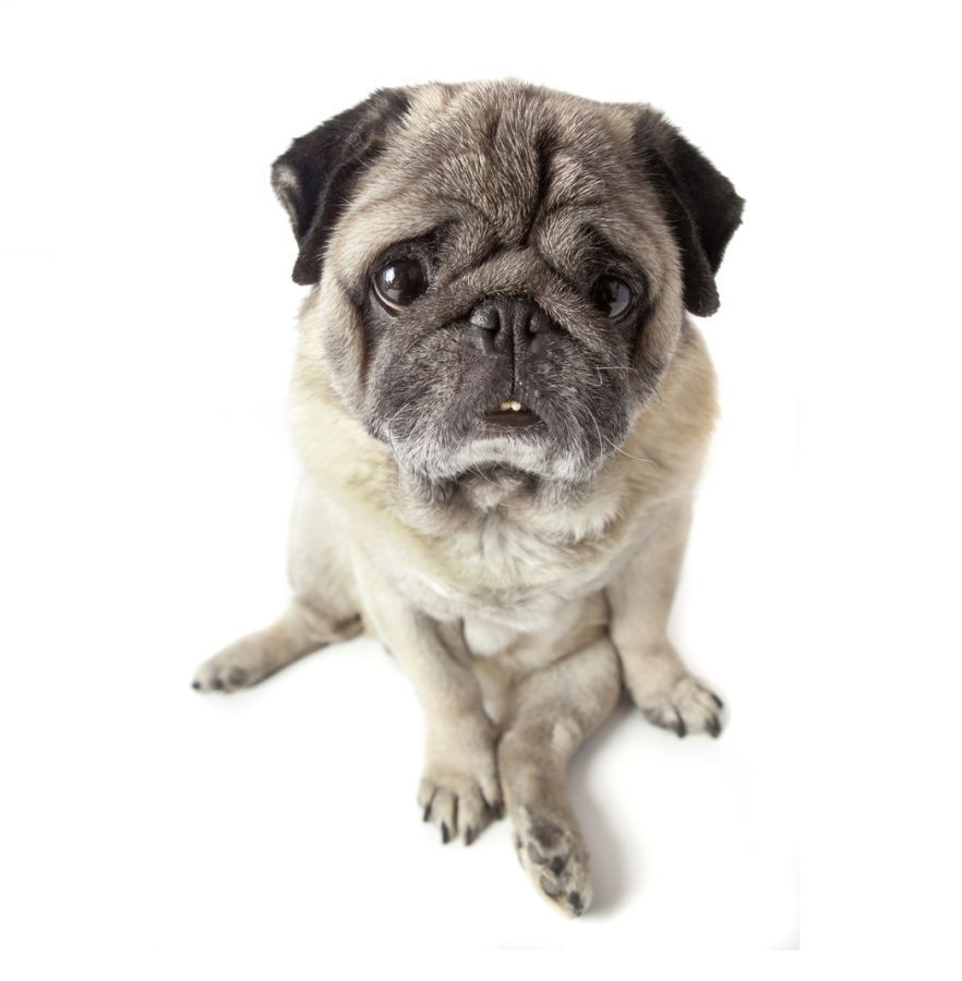 Cute Pug Blank Card I Love Pugs
