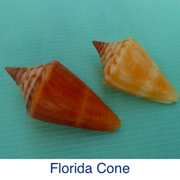 Cone- Florida ID