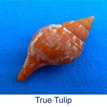Tulip - True ID