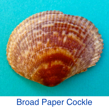 Broad Paper Cockle shell id